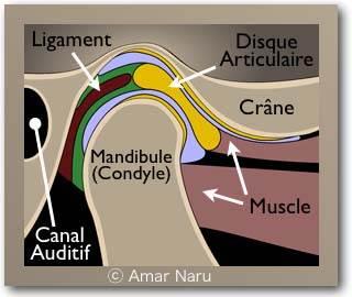 ATM TMJ Anatomie